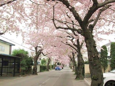 桜ケ丘通りの桜