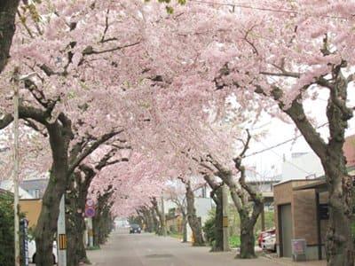函館の桜ケ丘通り