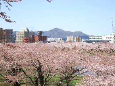 桜と函館山